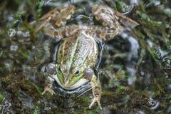 Aufgeblähter Frosch Lizenzfreies Stockfoto