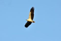 Aufgeblähtes Fliegen Eagles Weiß Stockfoto