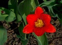 Aufgedeckte rote Tulpe naß lizenzfreie stockbilder