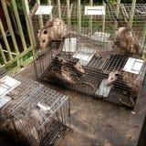Aufgefangene Opossums Lizenzfreie Stockbilder