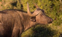 Aufgerüttelte Kap-Büffel-Kuh Lizenzfreie Stockbilder