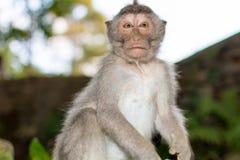 Aufgerüttelter Affe Stockfoto