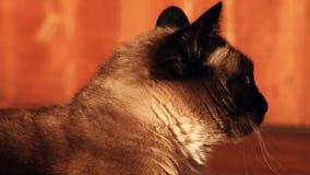 Aufgerüttelter und wachsamer Abschluss der siamesischen Katze oben stock video footage