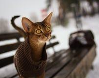 Aufgeregte abyssinische Katze im Winter kleidet das Gehen im Winterpark, der auf Bank sitzt Stockfotografie