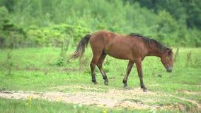 Aufgeregte Pferde, die auf Weide, Pferdezucht und Tierzucht gehen stock footage