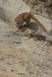 Aufgeregter Berglöwe, der auf Leiste sich anpirscht Stockfoto