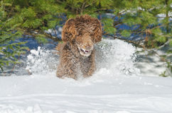 Aufgeregter Hund, der in Winterschnee läuft Lizenzfreie Stockfotos