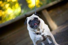 Aufgeregter Pug-Hund auf Leine stockfotografie