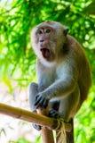 Aufgeregter schreiender Affe in den wild lebenden Tieren Stockfotografie