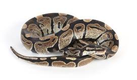 Aufgerollte Pythonschlange lizenzfreie stockfotos