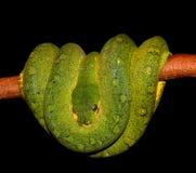 Aufgerollte Schlange des Pythonschlange-Grüns stockfoto