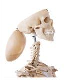 Aufgeschlossenes Skelett stockbild
