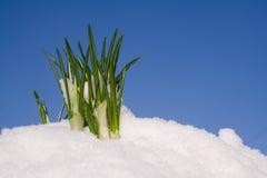 Aufkommende Frühlingsblumen Stockfotografie