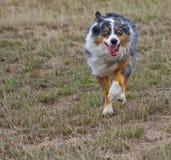 Aufladender australischer Schäferhund Lizenzfreie Stockbilder