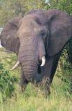 Aufladung des afrikanischen Elefanten Lizenzfreies Stockfoto