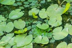 Auflagen des Grüns lilly umfassen die Oberfläche von einem Teich Lizenzfreie Stockbilder