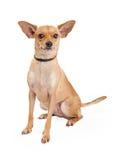 Aufmerksame Chihuahua gemischtes Zucht-Hundesitzen Lizenzfreie Stockbilder