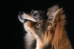 Aufmerksame Hunde Lizenzfreie Stockfotos