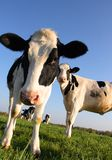 Aufmerksame Kühe Stockfotos