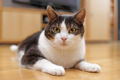 Aufmerksame Katze Lizenzfreie Stockfotografie