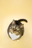 Aufmerksame Katze Lizenzfreies Stockfoto