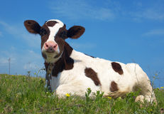 Aufmerksame Kuh stockfotografie