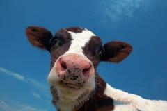 Aufmerksame Kuh lizenzfreies stockbild