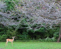 Aufmerksame Rotwild auf Rand des Holzes Stockfotos