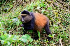 Aufmerksamer goldener Affe Lizenzfreies Stockbild