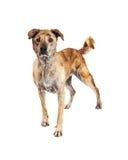 Aufmerksamer großer Kreuzungs-Hund, der zur Seite steht Stockfotografie