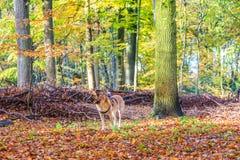 Aufmerksamer Hund mit actioncam als dogcam Wartung Anweisungen Stockbild