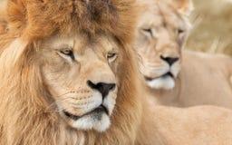 Aufmerksamer Löwe und Löwin Stockbild