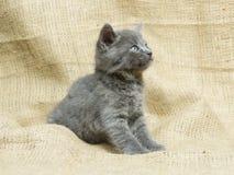 Aufmerksames graues Kätzchen Lizenzfreies Stockfoto