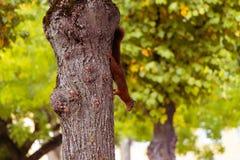 Aufmerksamkeits-Eichhörnchen passt Sie auf stockbild