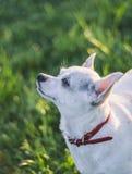 Aufmerksamkeits-Hund Stockfoto