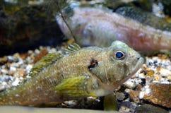 Aufpassen eines Fisches Lizenzfreies Stockbild