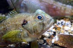 Aufpassen eines Fisches Stockfotografie