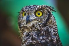 Aufpassen, schöne Eule mit intensiven Augen und schönes Gefieder Lizenzfreies Stockfoto
