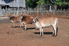 Aufpassende Kühe Stockfoto