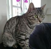 Aufpassende Katze Stockbilder