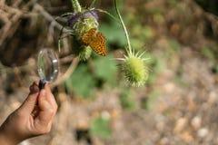 Aufpassender Schmetterling durch Lupe stockbilder