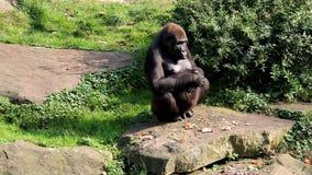 Aufpassender weiblicher Gorilla nimmt einen Sitz