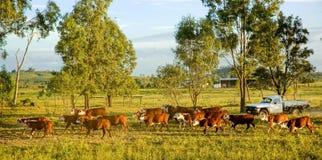 Aufrunden herauf das Vieh stockfoto