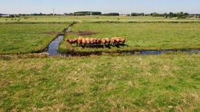 Aufschlussreiches Nicken herauf Luftvideo der Reihe der Kühe, die nah die Kamera in der grasartigen Wiese beachten stock footage