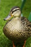 Aufstellung der Ente Stockbild