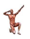 Aufstellung der Muskeln stock abbildung
