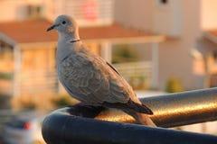 Aufstellung der Taube stockfotografie