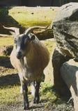 Aufstellung der Ziege in der Einschließung im Freien Lizenzfreie Stockbilder