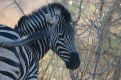 Aufstellung des afrikanischen Zebra Stockbilder
