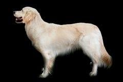 Aufstellung des goldenen Apportierhunds Stockfoto